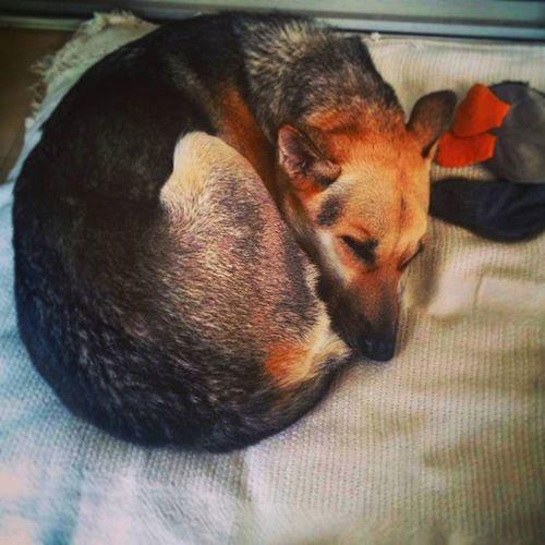 Zoe curled up and sleeping after her shower Dog Shepsky Dogsofinstagram Adorable Nap