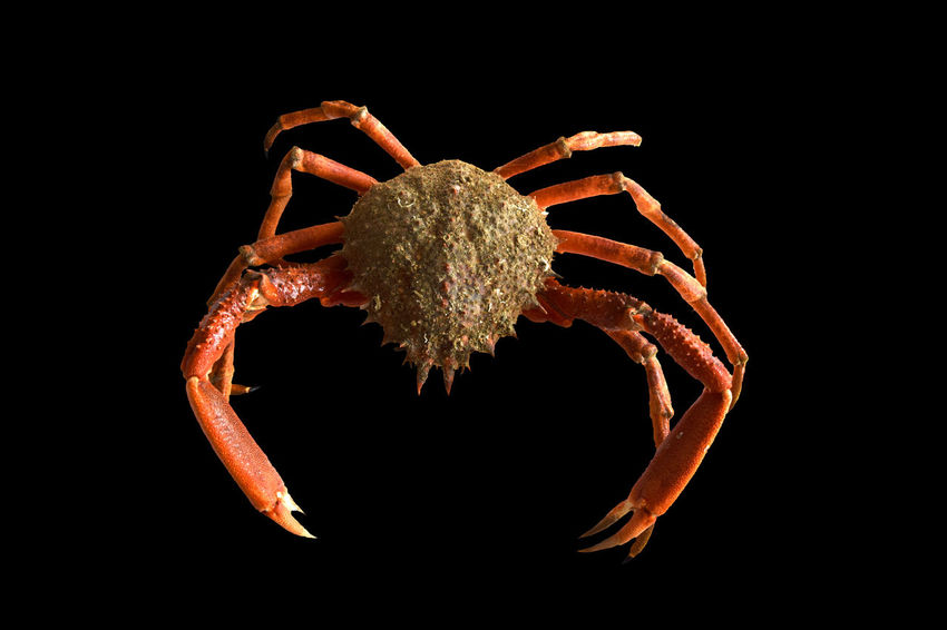 Fresh spider crab isolated on black background with clipping path Christmas Crab European Spider Crab EyeEm Gallery Isolated Isolotto Nature Spider Animal Animal Themes Clipping Path Close-up Eat Fisherman Fishing Food Fresh No People Ocean Sea Food Studio Shot