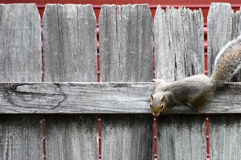Close-up of lizard on wooden fence