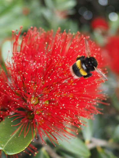 Bumbler on Pohutukawa NZ Photos Pohutukawa Animal Themes Beauty In Nature Blooming Bumblebee On Flower Close-up Day Flower Flower Head Fragility Freshness Growth Insect Nature No People One Animal Outdoors Petal Plant Red EyeEmNewHere