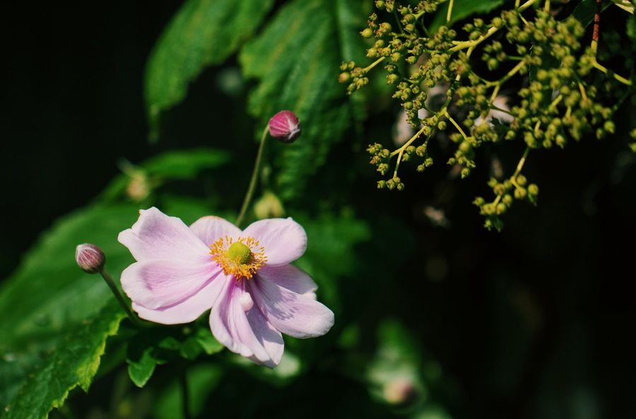 Japanese Anemone Pink Beauty In Nature Blooming Blossom Close-up Day Flower Flower Head Fragility Freshness Growth Nature No People Outdoors Petal Pink Color Pink Flower Plant Yellow