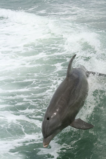 Dolphins Gulf Of Mexico Nature Ocean Outdoors Saint Petersburg Florida Water