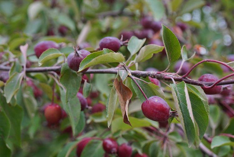 Berry Tree