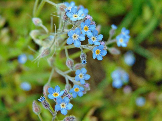голубой цветы красота зелень  Природа