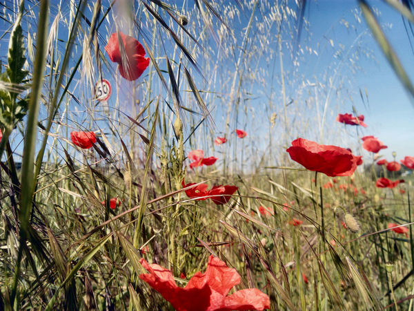 Ma le papere sono scappate ... Blooming Blu Sky Country Flower Freshness Green Color Lost Smartphone Said : Find Me Poppy Flowers Red Color Urban Spring Fever