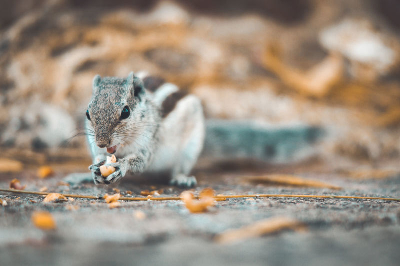 Close-up squirrel eating nut on road