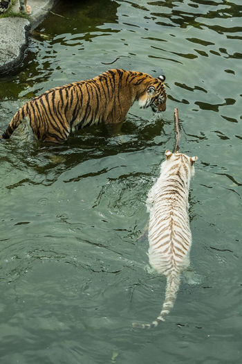 feline BeNGaL TiGeR Bengal Panthera Tigris Tigris Tigers Animal Themes Animal Wildlife Bengal Tigers Floating On Water High Angle View Nature Outdoors Swimming Tiger Tigre Tigre De Bengala Water Withe Tiger