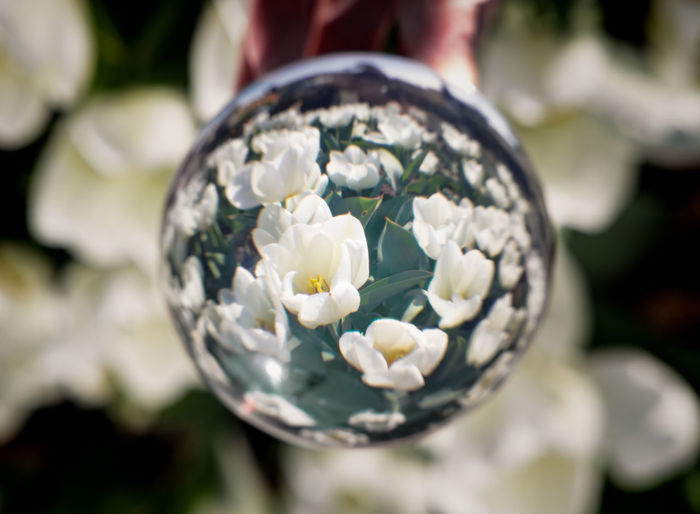 flowers through crystal ball Sphere Glass - Material Transparent Outdoors Focus On Foreground Nature Plant Close-up Crystal Ball Flowering Plant Flower Freshness Vulnerability  Day Fragility Beauty In Nature White Color No People Selective Focus Spring