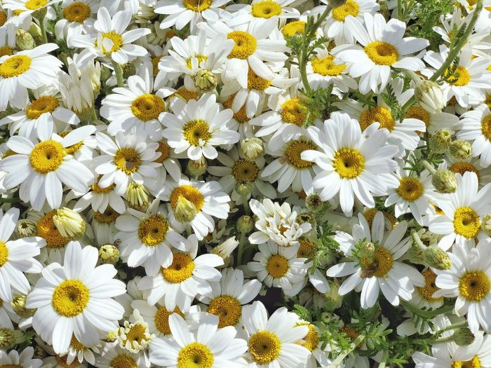 Flower Flowering Plant Freshness Vulnerability  Fragility Plant Beauty In Nature Growth Petal White Color Flower Head Inflorescence Daisy Nature Close-up Yellow Backgrounds No People Pollen