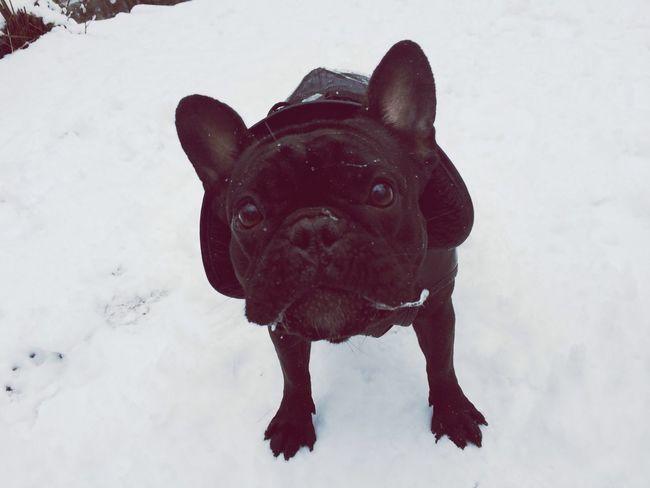 My Dogs Are Cooler Than Your Kids Ilovemydog French Bulldog Doris