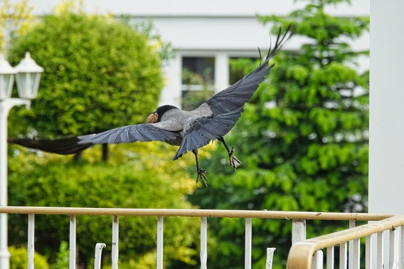 Crow Vertebrate Bird Animal Wildlife Animal Themes Animal Animals In The Wild Flying Railing Spread Wings Plant Tree Built Structure Nature Focus On Foreground Day One Animal Architecture No People Mid-air Green Color Nature Plant Animals In The Wild