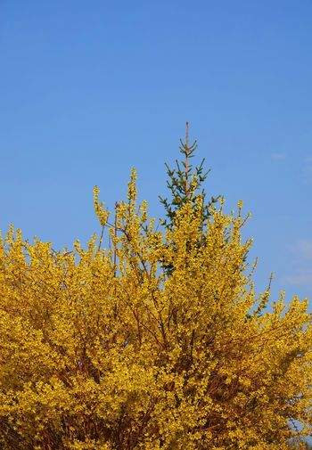 Autumn Beauty In Nature Blauer Himmel Und Sonnenschein Blue Blütenstrauch Change Clear Sky Coniferous Tree Day Forest Forsythia Flowers Growth Land Landscape Low Angle View Nature No People Outdoors Plant Scenics - Nature Sky Tranquility Tree Yellow
