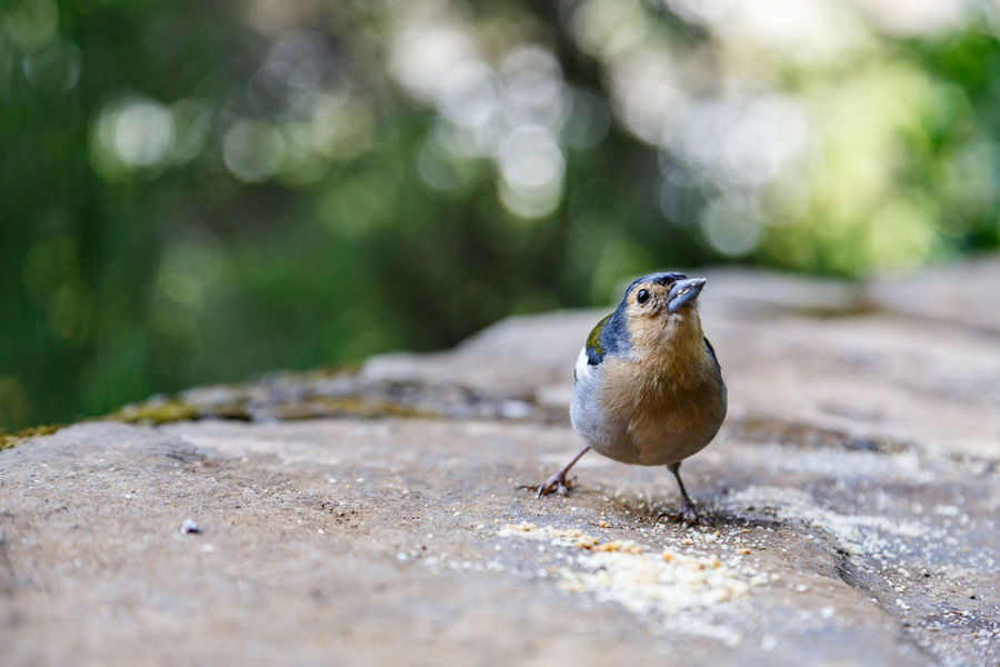 Animal Themes Animal Wildlife Animals In The Wild Beauty In Nature Bird Chaffinch Close-up Day Focus On Foreground Mourning Dove Nature No People One Animal Outdoors Perching Retaining Wall Robin Selective Focus Sparrow