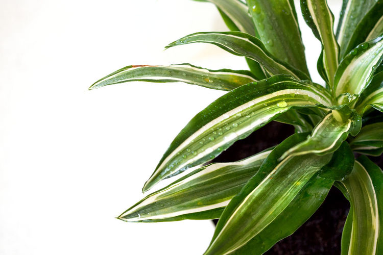 Close-up of fresh green plant against white background