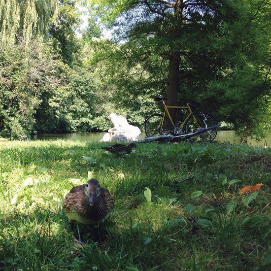 Bikeride Sunny Hours Duck