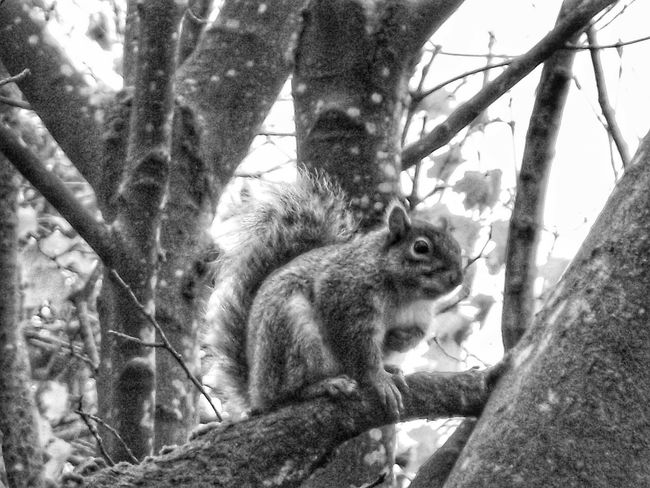 I took this squirrel photograph in black and white for a change Squirrel EyeEm Best Shots - No Edit EyeEmBestPics EyeEm Nature Lover EyeEm Animal Lover EyeEm Best Shots - Nature Showcase: December Nature Photography Nature On Your Doorstep Squirrels Blackandwhite Black & White Photography EyeEm Black&white! EyeEm Best Shots - Black + White Black And White Photography B&w Street Photography Monochrome Creative Light And Shadow Blackandwhite Photography Black & White B&w Photography No People Fortheloveofblackandwhite Squirrels By Tony BaylissWildlife & Nature