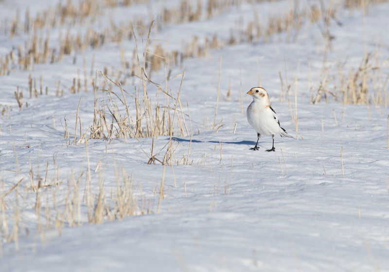 Snow bunting Animal Themes Animal Wildlife Animals In The Wild Beauty In Nature Bird Cold Temperature Day Nature No People One Animal Outdoors Plectrophenax Nivalis Snow Snow Bunting Winter