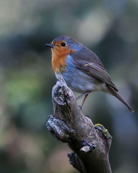 Robin /