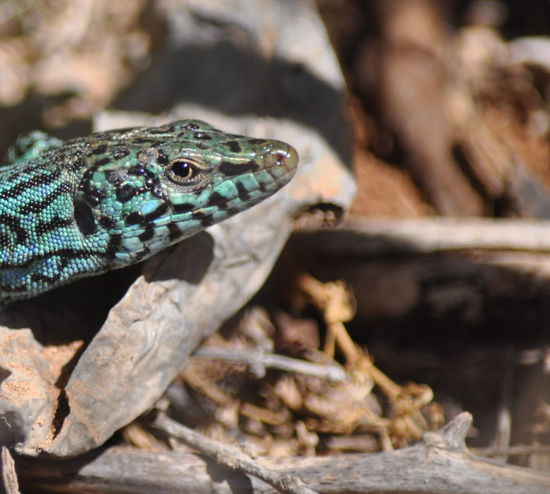 Amphibian Animal Head  Animal Themes Balearic Islands Beauty In Nature Day Far De La Mola Formentera Green Color Island Lizard Mediterranean Sea Nature Wildlife Nature's Diversities Blue Color One Animal Animals In The Wild Animal Wildlife Reptile No People Close-up Outdoors