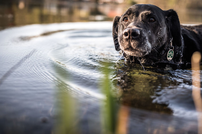 Portrait of black dog swimming in water