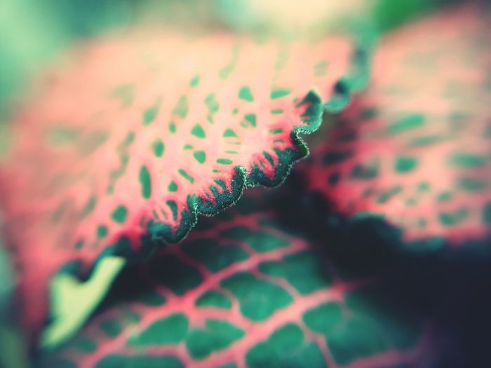 Attack of the Triffids Close-up Indoors  Day Garden Indoors  Green Color Coleus Coleus Leaf Leaf Vein Leaf Veins Beauty In Nature Freshness Luminous Pink Contrasting Colors Illuminated Leaves Houseplant Houseplants Nature No People Plant Leaf Red Growth