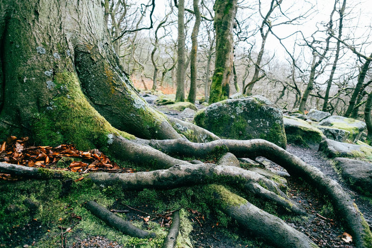 Moss & Lichen Beauty In Nature Branch Day Environment Forest Growth Land Moss Nature No People Outdoors Peak District  Plant Plant Part Root Scenics - Nature Tranquil Scene Tranquility Tree Tree Trunk Trunk WoodLand