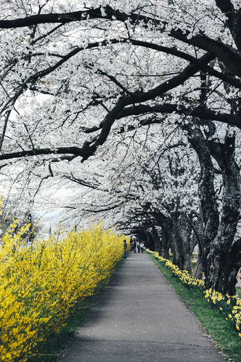 Sakura Plant Tree Flower The Way Forward Flowering Plant Direction Yellow Growth Beauty In Nature Springtime Blossom Nature Freshness Road Transportation Incidental People Cherry Blossom Diminishing Perspective Outdoors Cherry Tree Treelined Tree Canopy  Sakura Sakura Blossom Sakura Trees