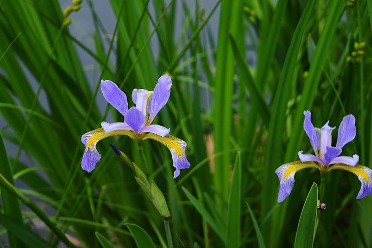 Iris blooming outdoors
