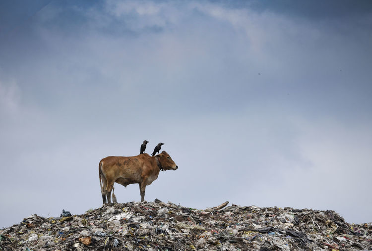 A cow on a garbage dump