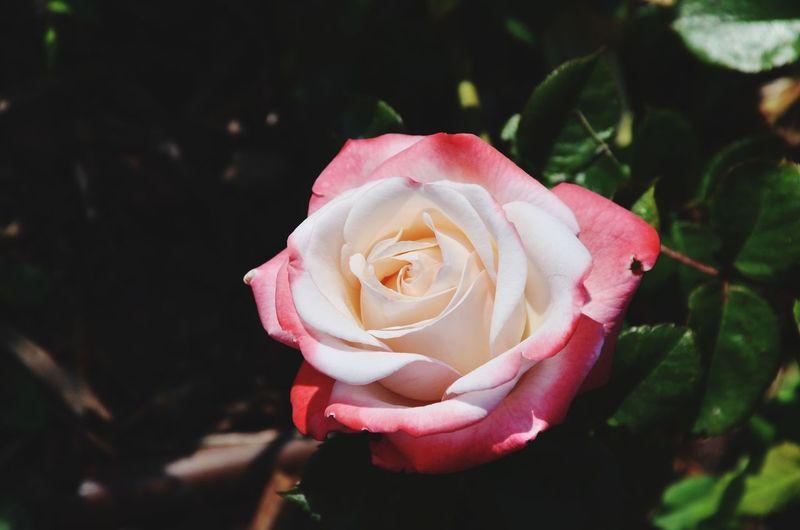 rose Spring Spring Flowers Garden Season  Rose🌹 Rose - Flower Green Color White Flower Pink Flower Flower Peony  Pink Color Red Rose - Flower Petal Close-up Plant Pale Pink