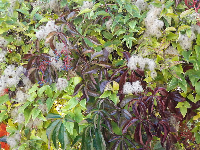 Grape ivy at