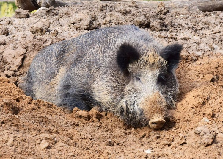 Animal Themes Animal Mammal One Animal Animal Wildlife Animals In The Wild Pig Mud No People Wild Boar Dirt Vertebrate Portrait Nature Animal Body Part Land Looking At Camera Day Relaxation Outdoors Animal Head  Snout