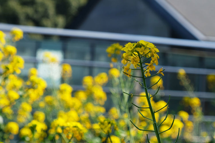 Architecture Beauty In Nature Blooming Building Exterior Built Structure Close-up Day Flower Focus On Foreground Fragility Freshness Growth Nature No People Oilseed Rape Outdoors Plant Yellow