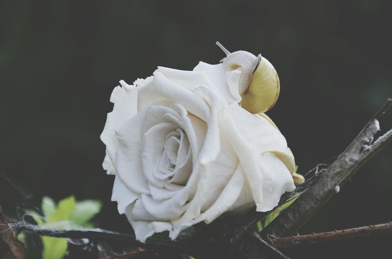 Close-Up Of White Rose Against Gray Background