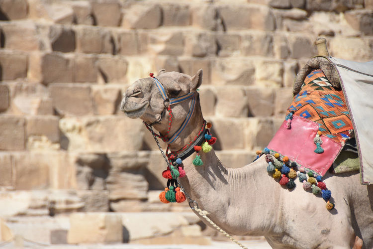 Camel waiting in front of great pyramid