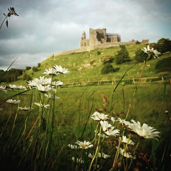 Ireland Rock Of Cashel Cashel Castle Power Daisy Summer Daisies