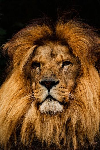 World Heritage Foundation big cats Animal Themes Animals Big Cat Big Chunks Of Meat Cat Cheetah Lion Nature Nature_collection One Animal Panther Road Safari Swimming WHF Wildlife Wildlife Heritage Foundation
