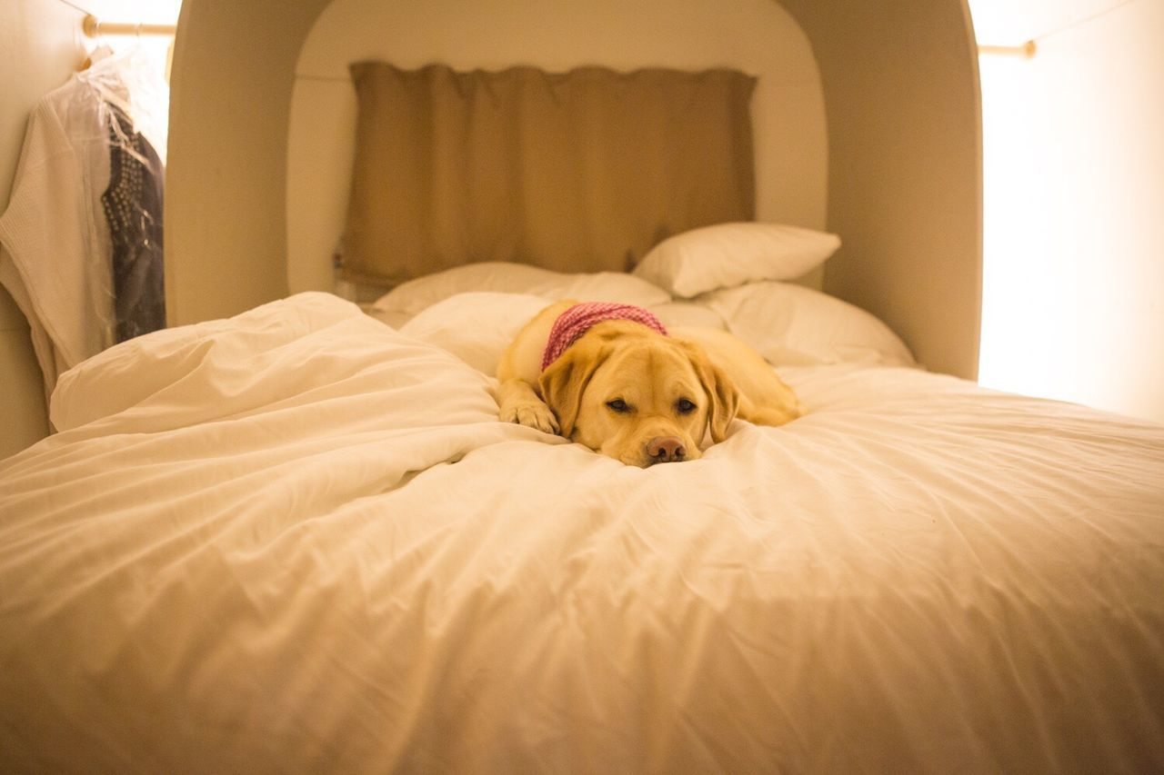 furniture, pets, domestic, canine, domestic animals, dog, one animal, mammal, animal, animal themes, relaxation, bed, bedroom, indoors, vertebrate, domestic room, no people, home interior, resting, pillow, animal head