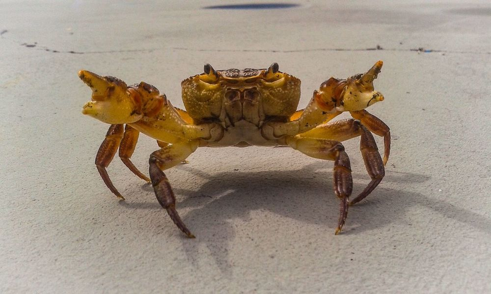 Bad Crab FUNNY ANIMALS Funny Fun Crab On The Beach One Animal Animal Themes Crab Animals In The Wild Animal Wildlife No People Sand Beach Sea Life Close-up Nature Day Crustacean Outdoors