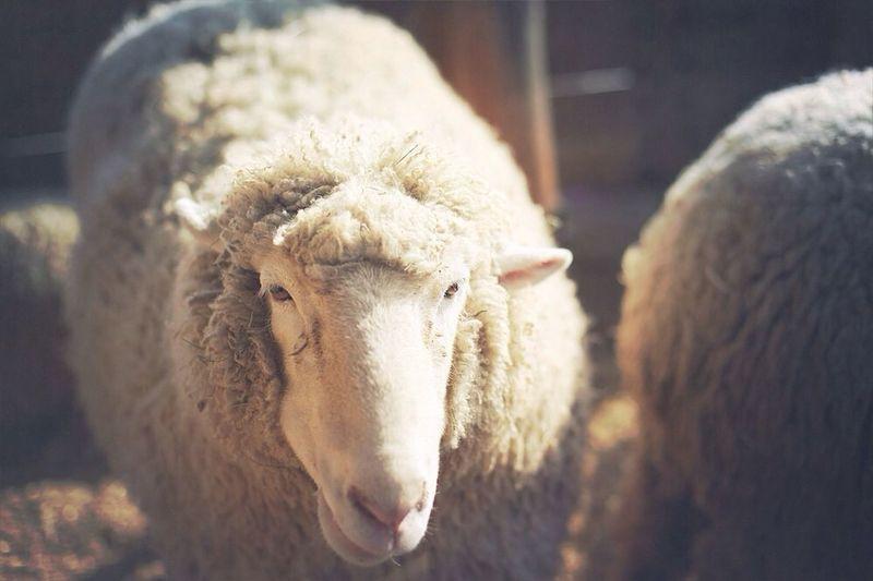 강원도 여행 Traveling Sheep