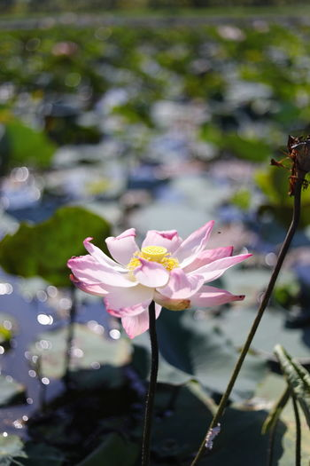 Green Color Clean Lotus Lotus Leaf Lotus Pond Flower Flowering Plant Vulnerability  Petal Beauty In Nature Freshness Focus On Foreground Plant Flower Head Growth Inflorescence Fragility Close-up Pink Color Day Plant Stem No People Outdoors Pollen Leaf Nature