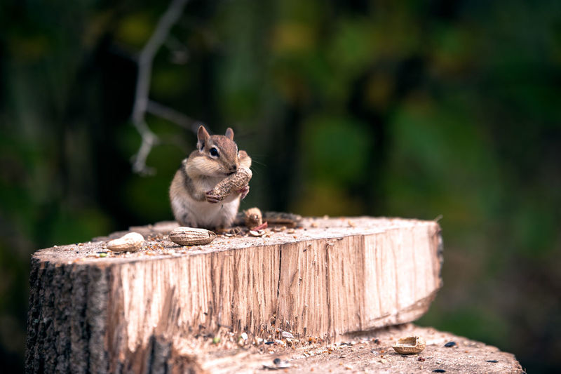Close-up of squirrel feeding on peanuts over tree stump