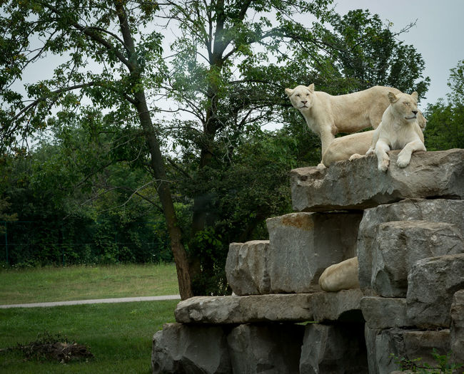 Lion White Lion Animal Themes Animal Wildlife Animals In The Wild Architecture Day Mammal Nature No People One Animal Outdoors Sculpture Sitting Sky Tree Wild Lions