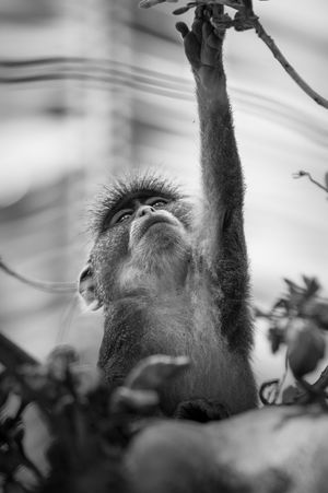 Low Angle View Palm Tree Animal Themes Animal Wildlife Animals In The Wild Blackandwhite Grabbing Low Angle View Monkey Nature One Animal Outdoors Up In The Trees