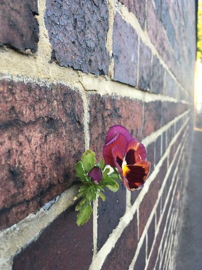 Pansy growing out of wall - beating the odds Pansey Wall Flower Plant In Wall Beating The Odds Flower Plant Flowering Plant Day Nature Beauty In Nature No People Close-up Growth Outdoors Wall Plant Part Freshness Fragility Sunlight