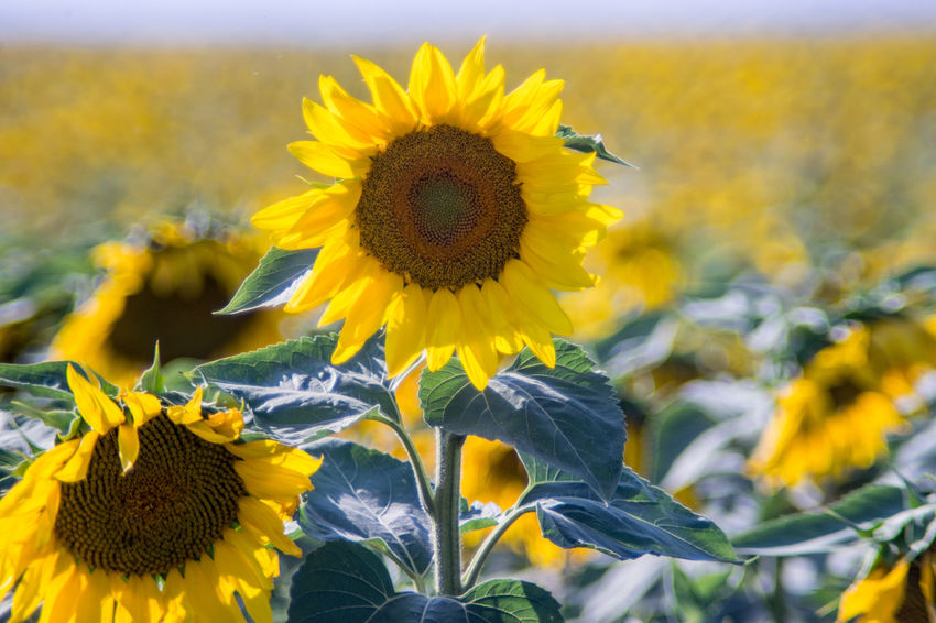 Flower Flowering Plant Yellow Plant Growth Beauty In Nature Sunflower Nature Field Land No People Outdoors