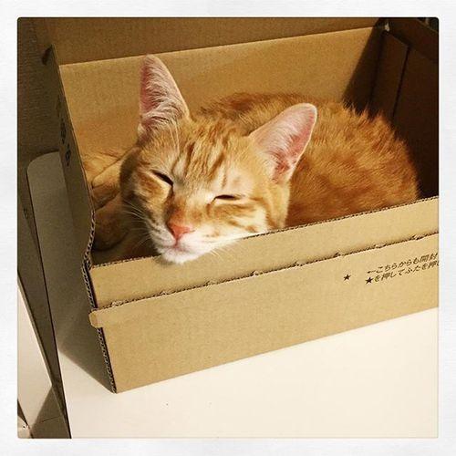 Cat Neko ねこ 猫 ねこ 茶トラ Cats Piopio Pio ピオ にゃまぞん ハコスキー 箱の中のピオでこんにちは…😆😸👍