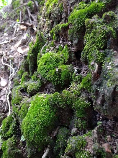 Moss Plant Green Color Growth Day Rock No People Beauty In Nature Rock - Object Solid Textured  Outdoors Tranquility Forest Lichen Land Nature