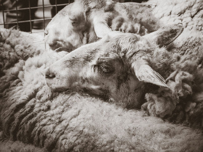 sheep sleepPet Portraits Sheep Sheep Farm Sheep Ranch Sheep Wool Sheep Herding Head Portrait Portrait Sleeping Blackandwhite No People Animal Animal Head  Blackandwhite Photography