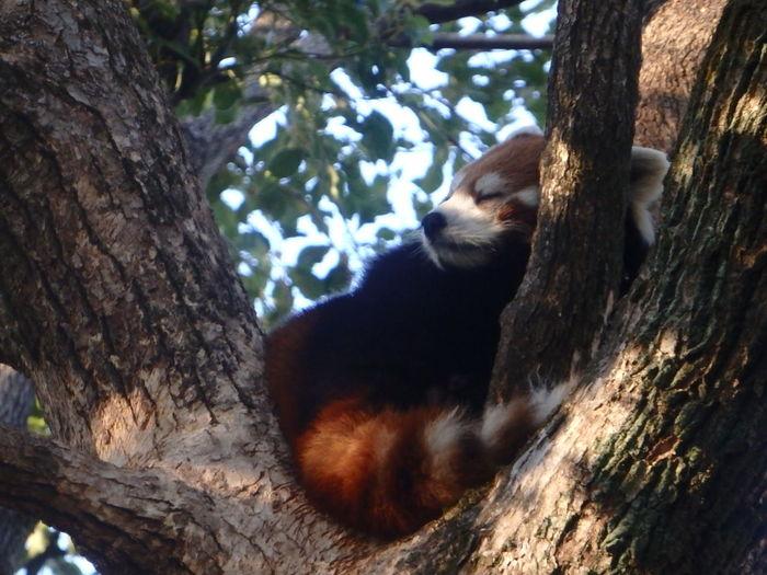 EyeEmNewHere Zoology Animal No People Sleeping Day One Animal Red Panda